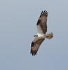 Osprey (Pandion haliaetus) (TG23-Birding in a Box) Tags: yellowstone yellowstonenationalpark wyoming uppergeyserbasin osprey pandionhaliaetus