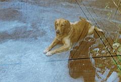 000021 (Kawee.Meksongruek) Tags: pet dog leicaiiif film streak revolog
