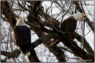Our local nesting eagles in Cincinnati (Bonnie and Clyde) affirm their bond
