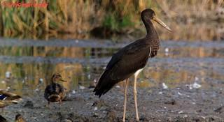 Schwarzstorch/Black Storck (Ciconia Nigra)