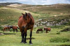 Corse (Yann OG) Tags: corse corsica france français french coscione plateau altarocca bavella sartène quenza cheval horse montagne mountain 50mm f18 corsedusud animal