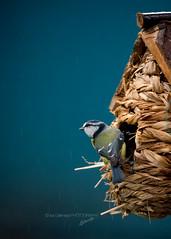 Cyanistes caeruleus - Eurasian Blue Tit (Isa Galimage Photography) Tags: naturebynikon mésange bird