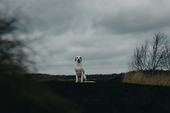 where´s your ear, lotta   l   2017 (weddelbrooklyn) Tags: natur landschaft quickborn himmelmoor wolken kalt wetter nikon d5200 35mm nature landscapes clouds cold weather wind windig hund hunde tier tiere haustier haustiere windy dog dogs animal animals pet pets