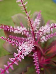 tungkod pare  (good luck plant) (DOLCEVITALUX) Tags: tungkodpare goodluckplant lumixlx100 panasoniclumixlx100 philippines medicinalplants flora fauna plant plants flower flowers