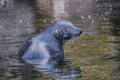 Ms Phoca Vitulina (Eora Borealis) Tags: seal harbourseal harborseal commonseal foka fokapospolita phocavitulina phoca säl knubbsäl skansen stockholm sweden szwecja sverige baltic balticsea ostersjön animal nature djugård djurgården zoo marine mammal