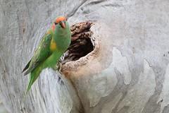 Musk Lorikeet (Glossopsitta concinna) (Ian Colley Photography) Tags: musklorikeet glossopsittaconcinna inverell bird canoneos7dmarkii 500mm