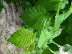 Green Leaves and Grey Baark (Steve Taylor (Photography)) Tags: green grey newzealand nz southisland canterbury christchurch cbd city leaves bark branch bokeh shiny summer beech art digital abstract
