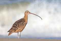 Long-billed Curlew (wn_j) Tags: birds birding nature naturephotography nationalwildliferefuge canon canon5d4 canon500mm california salinasrivernwr curlew wildlife wildanimals wildlifephotography shorebirds