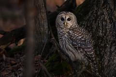 Owl In the woods (NicoleW0000) Tags: barredowl birdofprey wild wildlife nature photography ontario owl