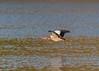 Egyptian Goose ( Alopochen aegyptiaca ) (Dale Ayres) Tags: egyptian goose alopochen aegyptiaca bird nature wildlife