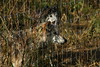 IMG_1271 (goaniwhere) Tags: wolf animal wolves wildanimal sanctuary