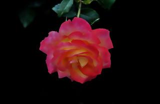 _DSC0276 Rose