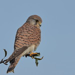 Kestrel female thumbnail