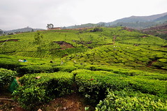 India - Kerala - Munnar - Tea Plantagen - 232 (asienman) Tags: india kerala munnar teaplantagen asienmanphotography