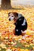 Patient Dog (Thom Sheridan) Tags: thomsheridan charlie beagle mutt fall autumn 2017