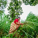 A woman harvesting lemongrass