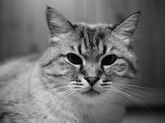PB214003 (Vladimir V. Samoylov) Tags: microfourthirdsmicro43 micro43 m43 μ43 cat feline olympus omd em5markii panasonic panasonicleicadgsummilux25mmf14asph 25mm
