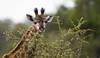 Sub-adult Giraffe (Mike/Claire) Tags: baby giraffe 2016 southafrica tandatula timbavati