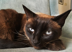 chill cat (Robert Couse-Baker) Tags: 2017 siamese feliscatus feline chat cat face ears paw tail fur eyes relaxed relaxing restingonherpaws resting chillingout littledoglaughedstories