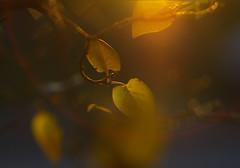 Leaves in the sun (Baubec Izzet) Tags: baubecizzet pentax bokeh leaves sunset autumn nature flickrunitedaward