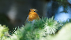 a Robin hidden in a tree (Franck Zumella) Tags: bird oiseau hidden tree arbre color couleur light lumiere red bleu rouge blue green vert animal wildlife vie sauvage nature robin breast redbreast rougegorge gorge