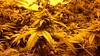20150512_094931 (CannaPsy) Tags: hydroponics flood drain indoor medical cannabis marijuana weed horticulture high pressure sodium hps og