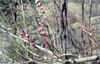Daphne mezereon. Rauris Spruce wood. April 1965 (Mary Gillham Archive Project) Tags: 1965 52317 april1965 austria daphnemezereon daphnemezereum planttree rauris