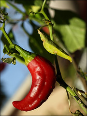 New Mexico chile (Jensaarai) Tags: nm newmexico new mexico chile pepper redchile