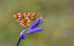 Pearl-bordered Fritillary (Boloria euphrosyne). (Bob Eade) Tags: woodland wildlife pearlborderedfritillary boloriaeuphrosyne eastsussex nature nikon fritillary spring lepidoptera butterflies butterfly bluebell