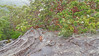 Angophora costata_5 (Tony Markham) Tags: angophoracostata sydneyredgum rustygum smoothbarkedapple blushing orange red pink colour color myrtaceae tree flowering flower inflorescence wisestrack royalnationalpark