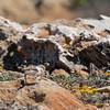 Kentish Plover (Charadrius alexandrinus), fledgling-0847 (Stein Arne Jensen) Tags: balearene balearicislands balearischeinseln bird borrelhodecoleirainterrompida canonef100400f4556lisusm canoneos70d charadriidae charadriiformes charadriusalexandrinus chorlitejopatinegro espagne espanya españa eurasiatischerseeregenpfeifer europa europe fugl hvitbrystlo islasbaleares jæderlo kentishplover lofamilien mallorca pajaro picaplatgescamanegre pluvieràcollierinterrompu regenpfeiferartige spain spania spanien steinarnejensen strandplevier tsn176513 vademåkeogalkefugler vogel lintu mustajalkatylli oiseau европа морскойзуёк птица أوروبا الزقزاقالاسكندراني यूरोप シロチドリ ヨーロッパ 歐洲 环颈鸻 鳥 鸟 유럽 흰물떼새