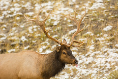 What's on his mind (ChicagoBob46) Tags: bullelk elk bull yellowstone yellowstonenationalpark nature wildlife ngc coth5 sunrays5 npc