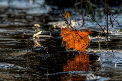 Lit Leaf...... (Kevin Povenz Thanks for the 3,700,000 views) Tags: 2017 november kevinpovenz westmichigan michigan ottawa ottawacounty ottawacountyparks grandravinesnorth pond cold leaf light lit frozen ice canon7dmarkii sigma150500 early earlymorning low reflection water outside outdoors