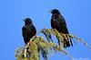 corneille noire - corvus corone - Carrion crow (Bruno Chambrelent) Tags: corneille noire corvus corone carrion crow