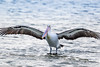 Australian Pelican, San Remo, Australia (Manuel ROMARIS) Tags: australia pelican sanremo australianpelican phillipisland victoria au