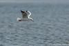 Meeuw (Chantal van Breugel) Tags: texel vogels zee meeuw slufter herfst oktober 2017 canon5dmark111 canon70300