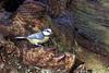 Mésange bleue (jeanot94) Tags: eurasianbluetit cyanistescaeruleus herrerillocomun chapimazul blaumeise kékcinege pimpelmees cinciarellaeuropea blåmeis blåmejse blámeisa mallerengablavaeurasiàtica sýkorkabelasá sýkoramodřinka sinitiainen