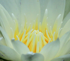Heart of Lotus Flower - Thailand (lotusblancphotography) Tags: nature plant flower fleur plante lotus macro closeup
