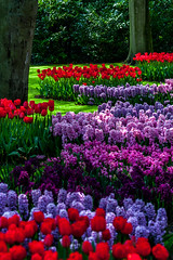 Gardens of Paradise (BeNowMeHere) Tags: ifttt 500px spring travel tree colors garden trip colorful tulips orchard botanical colourful plantation cultivated land path nature flowers colours amsterdam lisse keukenhof netherlands paradise sunset beach benowmehere gardensofparadise raised