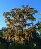 Cypress Tree with Spanish Moss (davidwilliamreed) Tags: cypress tree spanish moss nature citypark neworleansla