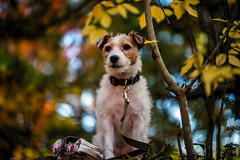 Looking Over the Distance (moaan) Tags: kobe hyogo japan jp dog jackrussellterrier kinoko portrait autumn autumncolors fall fallcolors sunlight naturalilluminations lowangleview dof depthoffield bokeh bokehphotography canon canonphotography canoneos5dsr ef70200mmf28lisiiusm urara 2017