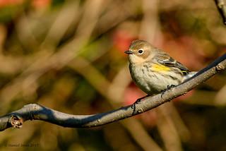 Yellow rumped Warbler (myrtle)