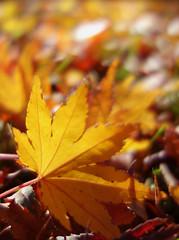Tokyo - Showa Memorial Park 昭和記念公園 (fb81) Tags: japan tokyo showa kinen koen memorial park koyo autumn foliage fall leaf color yellow maple tree