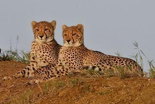 International Cheetah Day 4 December