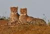 International Cheetah Day 4 December (cirdantravels (Fons Buts)) Tags: acinonyx cheetah gepard guépard jachtluipaard carnivore bigcat feline carnivora felidae ngc npc
