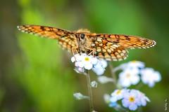 Summer hot day ... (N.Batkhurel) Tags: season summer flower flora insects butterfly ngc nikon nikond5200 natur 105mm mongolia macro closeup
