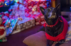 Roxie dog (wdwSteve) Tags: nikon d750 50mm f14 christmas dogs