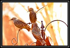 """Three's a Crowd..."" (NikonShutterBug1) Tags: nikond7100 tamron70300mm birds ornithology wildlife nature spe smartphotoeditor birdfeedingstation bokeh starling birdsfeeding 7dwf"