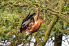 Leap (Paul Wrights Reserved) Tags: red kite redkite predator bird birding birdphotography birds birdwatching birdinflight birdofprey leap dive diving trees branches nature naturephotography