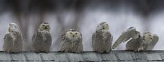 Harfang des neiges / Snowy Owl / Bubo scandiacus / Ukpik (FRITSCHI PHOTOGRAPHY) Tags: harfangdesneiges snowyowl buboscandiacus ukpik mirabel photoshopcc